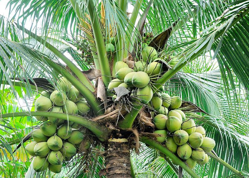 cocos-nucifera-frutos-palmera