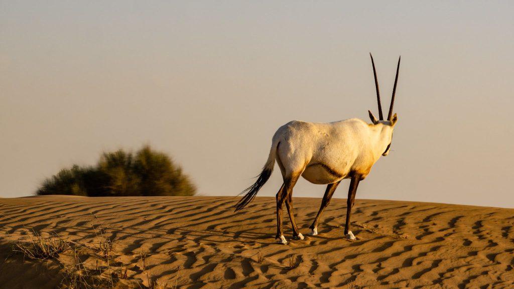 Safari în deșert - Dubai
