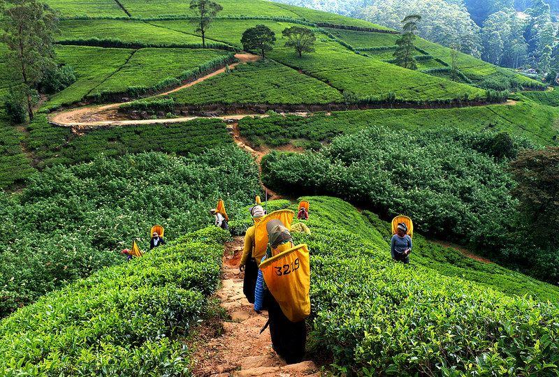 Culturi de ceaiuri, Sri Lanka, foto@flickr.com